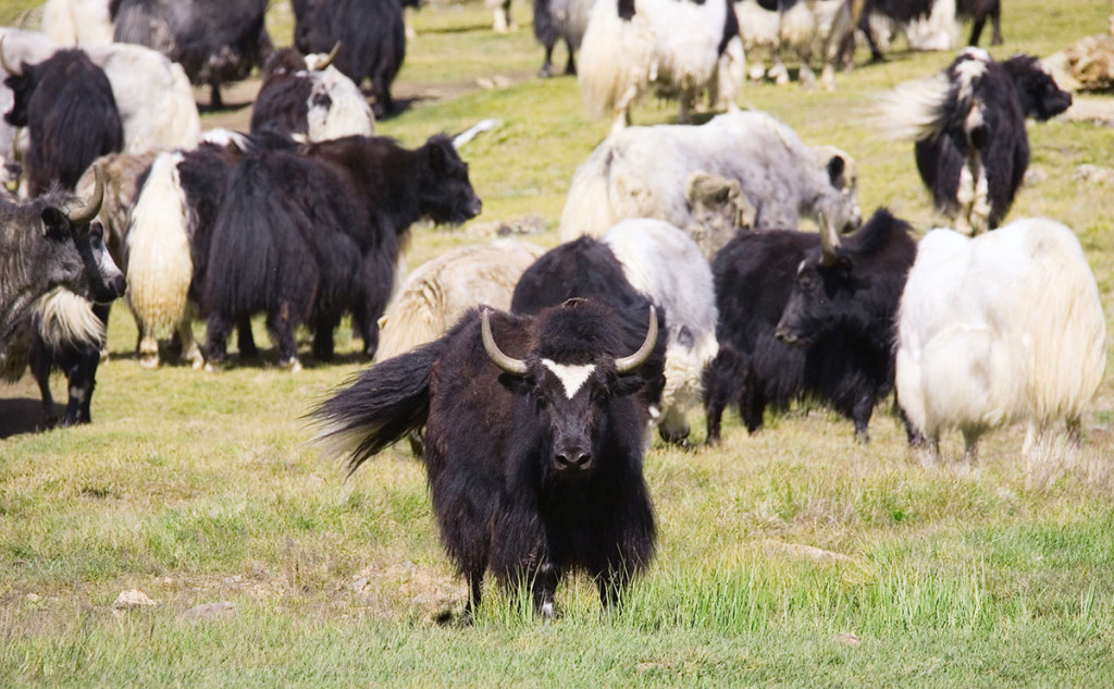 Meet Your New Favorite Exotic Meat: Yak
